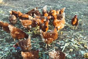 le galline di arianna vulpiani
