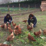 galline di arianna che mangiano